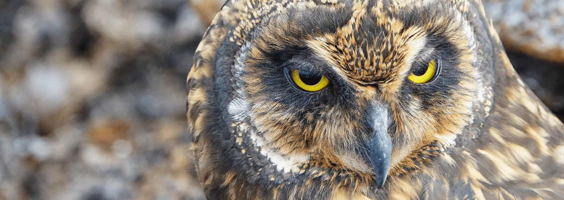 Short eared owl on Genovesa island